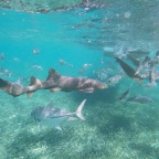 Swimming with sharks in Shark Ray Alley